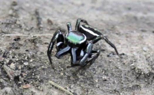 Jumping Spider - Messua limbata - male