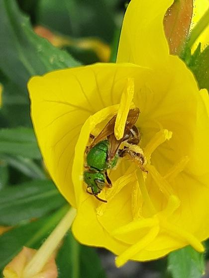 Agapostemon - Agapostemon virescens - female