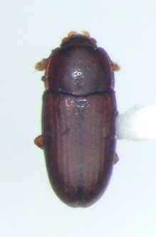 Philothermus glabriculus