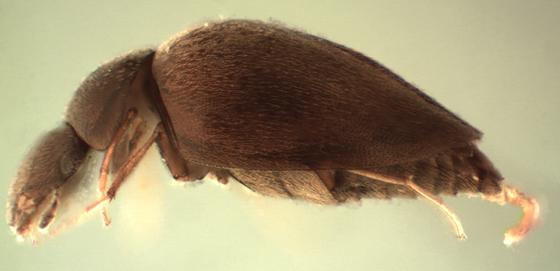Calyptomerus oblongulus - male
