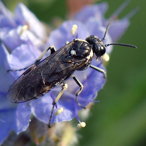 ID for a bee on Phacelia? - Filacus