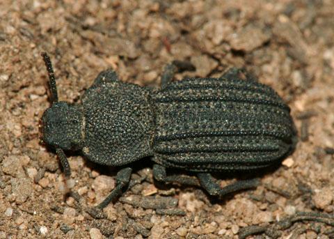Darkling beetle - Nyctoporis carinata
