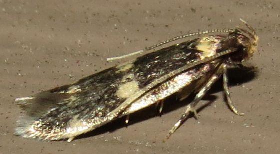 Four-spotted Yellowneck Moth - Hodges#1134 - Oegoconia novimundi