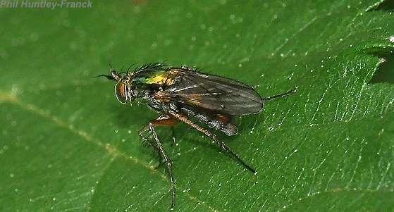 Long-legged Fly - Dolichopus