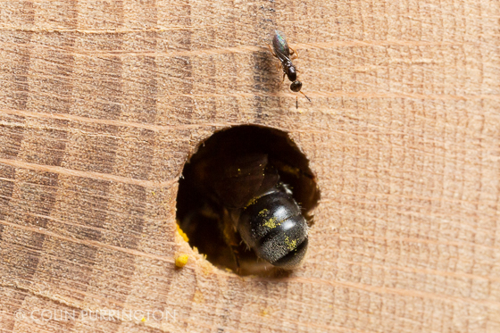 Small wasp on mason bee house - Melittobia