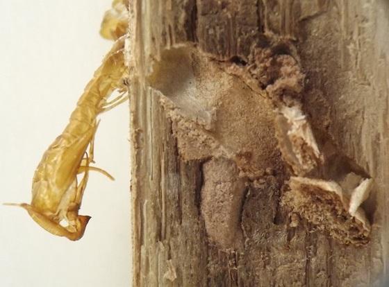 Stem-boring moth, yucca - Prodoxus