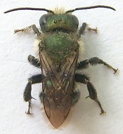Mason Bee? - Osmia