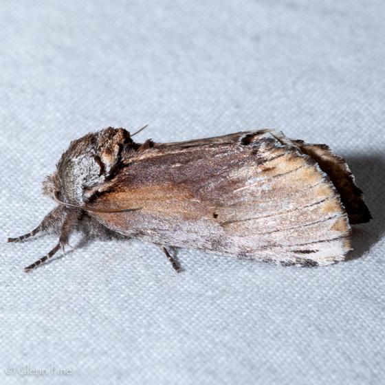 Red-humped caterpillar moth - female