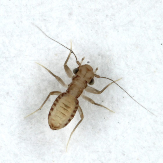 Tapinella maculata - male