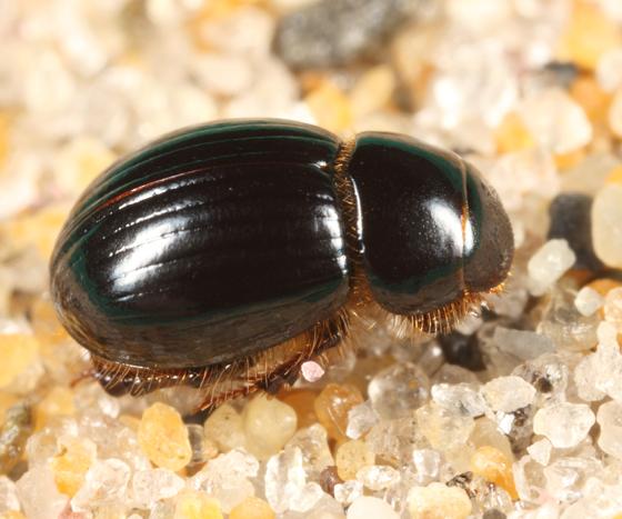 small beach scarab - Aegialia arenaria