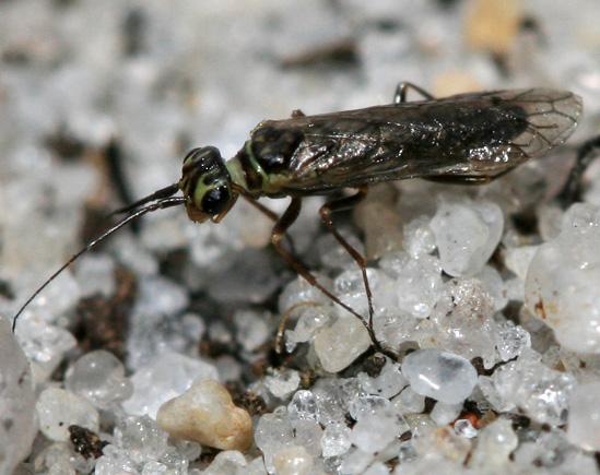 Sawfly - Xyela