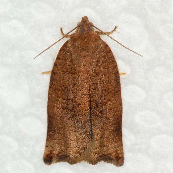 tortricid - Argyrotaenia franciscana
