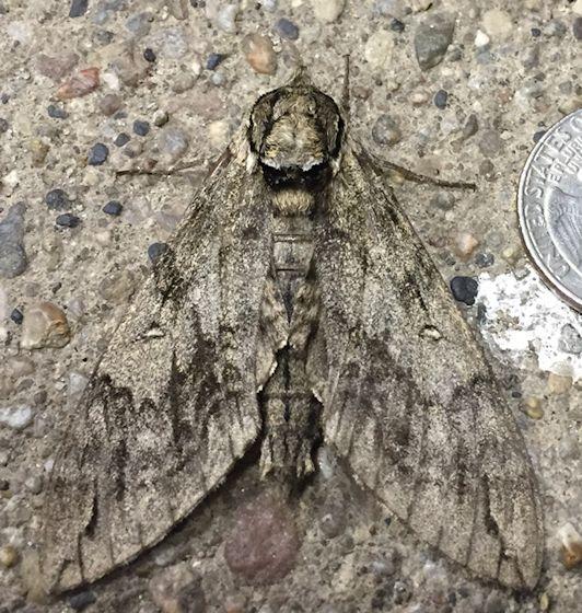 Waved Sphinx - Hodges#7787 - Ceratomia undulosa
