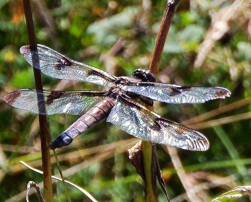 Some type of King Skimmer? - Libellula pulchella