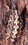 Syrphid Larva?