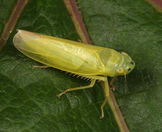 Leafhopper on Maple-leaf Viburnum - Pagaronia minor