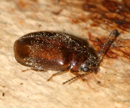 brown beetle - Contacyphon