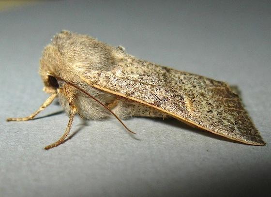 Perigonica pectinata - female