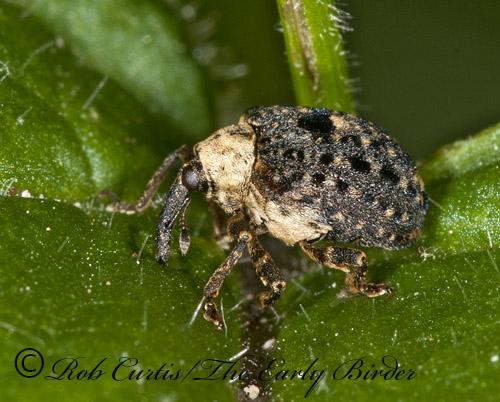 3013402 weevil - Cionus scrophulariae