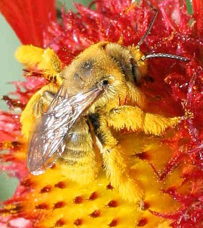 Bee - Diadasia enavata - female