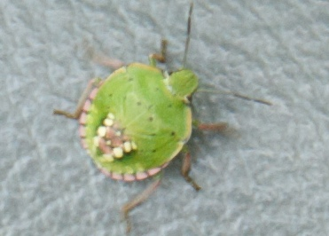 Green Stink Bug with Markings on Back - Nezara viridula