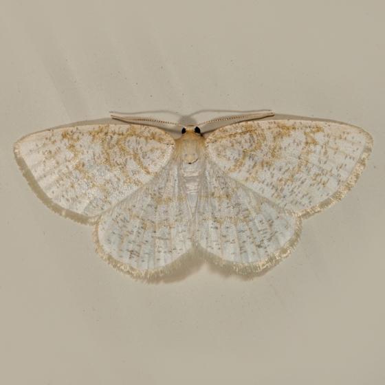 Yellow-dusted Cream Moth - Cabera erythemaria - female