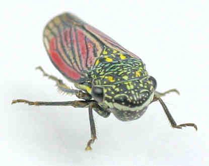 Leafhopper - Cuerna ? - Cuerna obesa