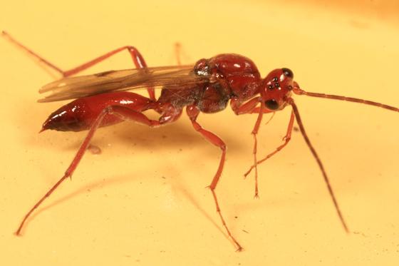 wasp - Proctotrupes caudatus - male