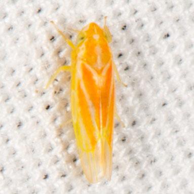 Erythridula? - Erythridula