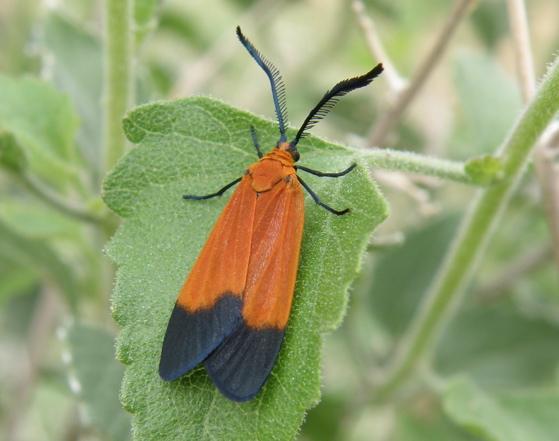 Orange & Black Moth - Neoalbertia constans