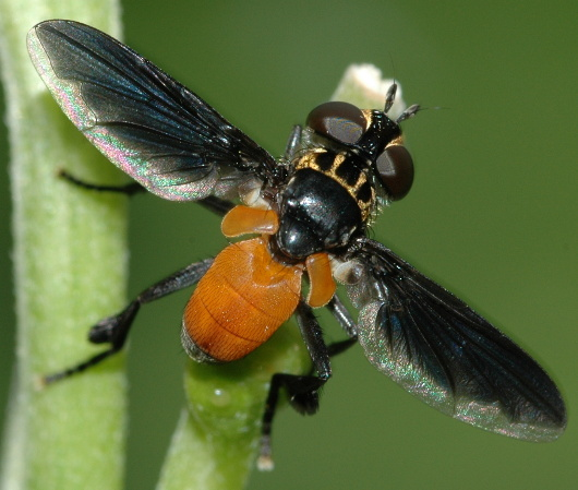 Tachina Fly - Trichopoda pennipes