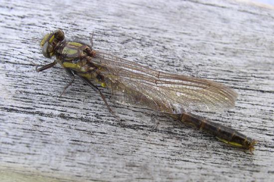 Dragonfly - Phanogomphus borealis