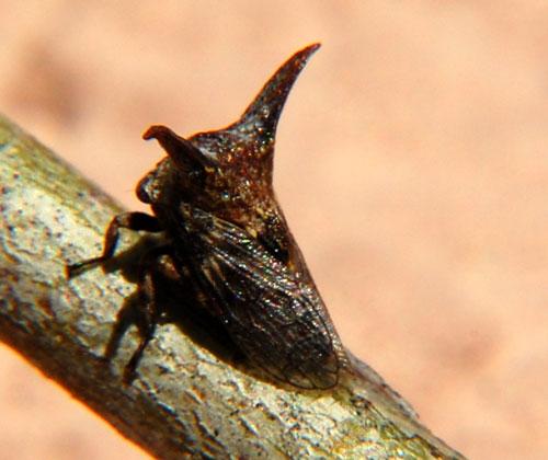 Mesquite Thorn Hopper - Platycentrus acuticornis