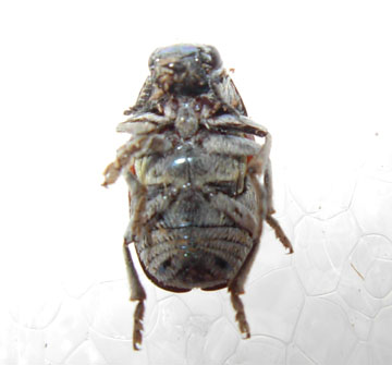 Flower beetle ? - Megalostomis pyropyga