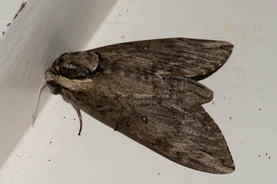 Unknown Moth - Ceratomia catalpae