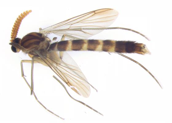 Keroplatus perhaps, dorsal-lateral - Keroplatus militaris - male