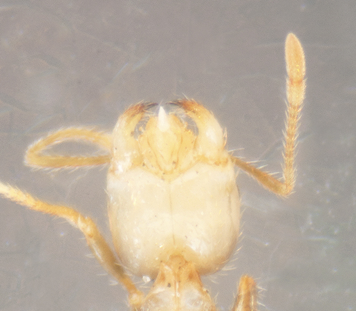 Unknown ant - Solenopsis - female