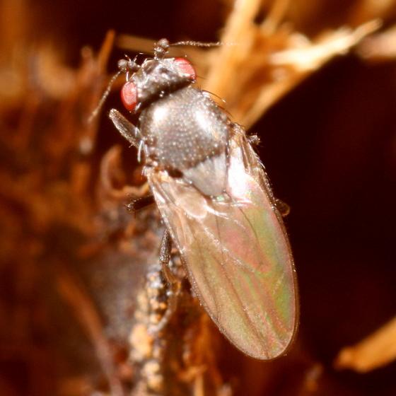 Horse poop fly