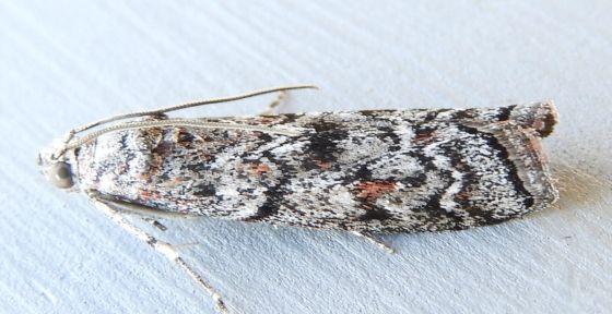 Arizona Moth - Passadenoides montanus