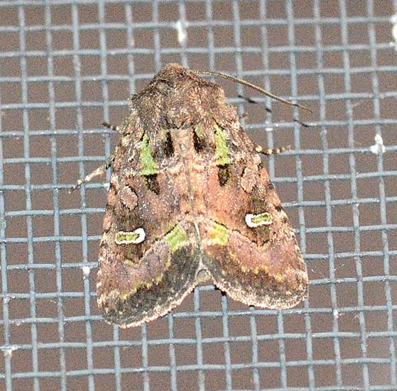 Bristly Cutworm - Lacinipolia renigera
