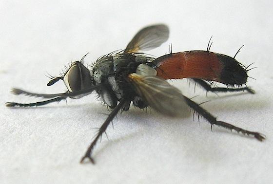 Cylindromyia Tachinid Fly - Cylindromyia intermedia - male