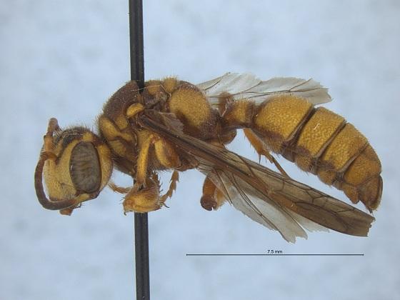 Cerceris californica - female