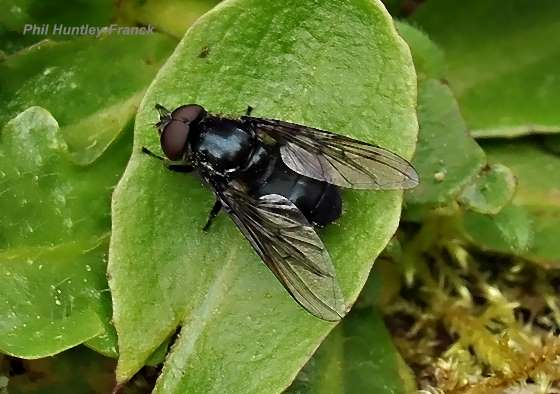 Fly - Cheilosia - male