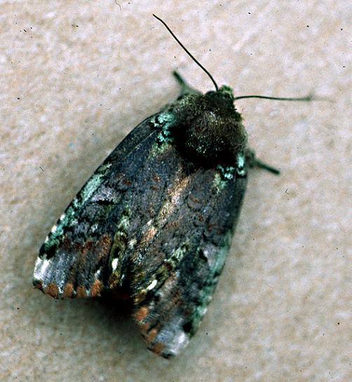 Unicorn Caterpillar Moth - Schizura unicornis - female