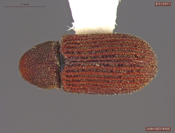 Scierus annectans