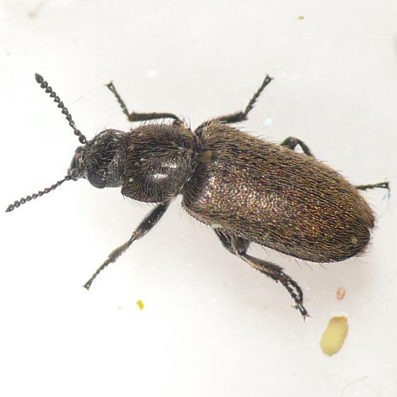 Dasytinae from California (4) 10.07.19 - Trichochrous sordidus