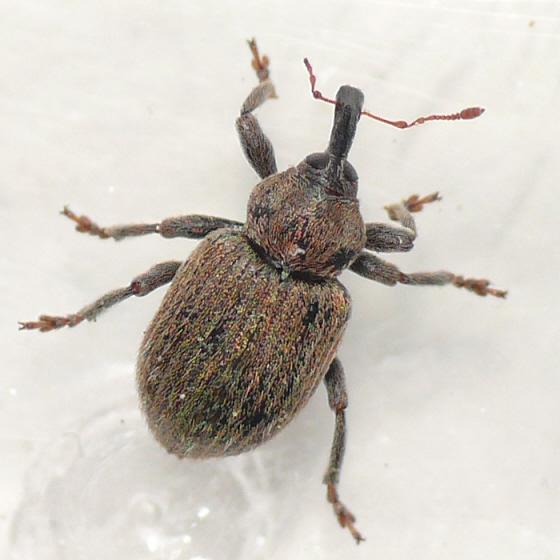 Weevil - Hypera meles