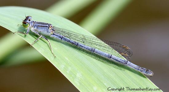 Damselfly - Ischnura verticalis - female