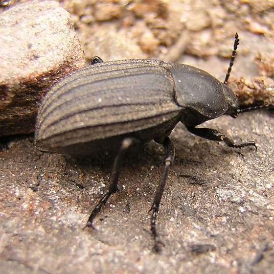 Powerful Looking Beetle - Eleodes tricostata