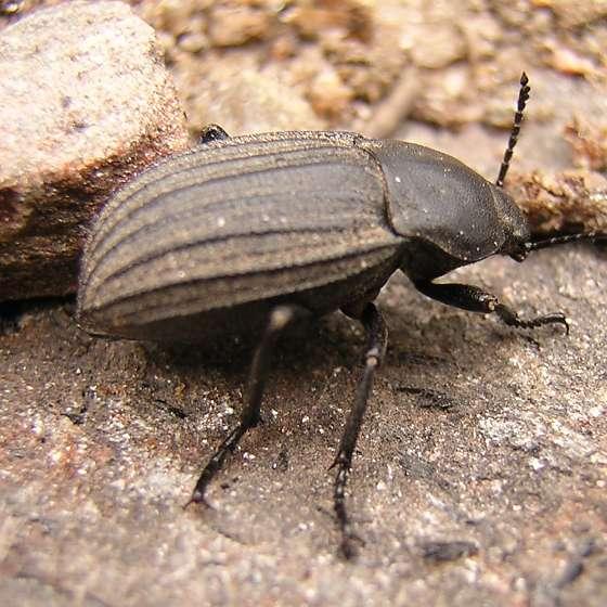Powerful Looking Beetle - Eleodes tricostata